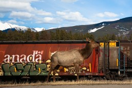 a travel photo of elk by the trains in jasper alberta