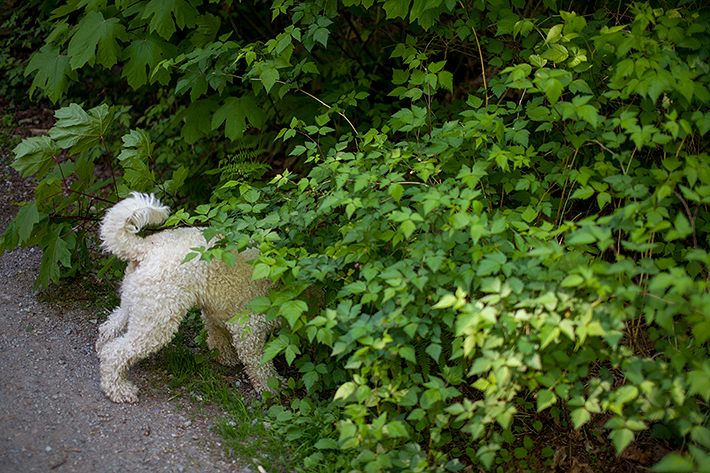 a spring engagement photo of a dog with his head in a bush at pacific spirit park vancouver british columbia