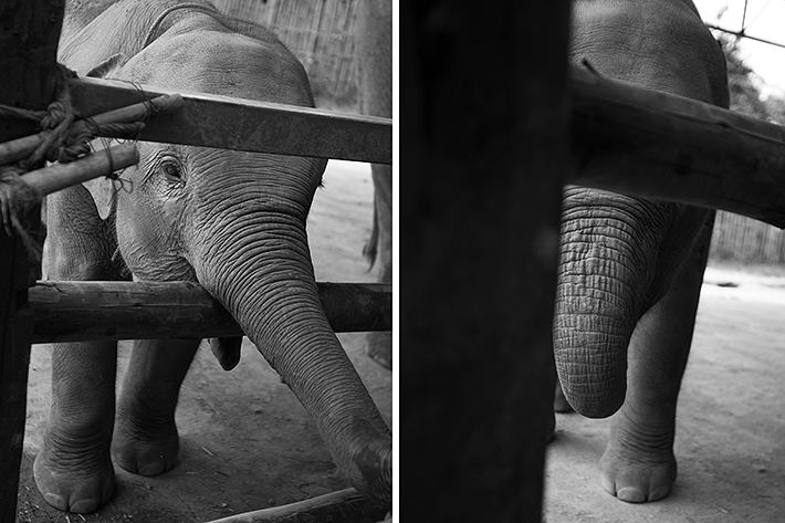 a photo of travel photography at a elephant sanctuary shy baby in chaing mai thailand