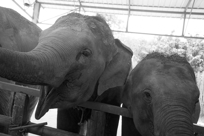 a photo of travel photography of happy elephants at a sanctuary chaing mai thailand