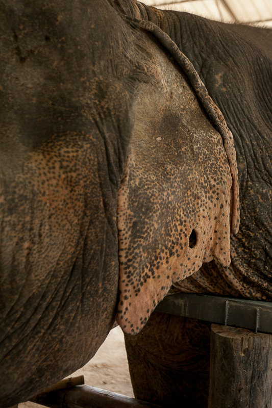 a photo of travel photography of an ear hole at a elephant sanctuary chaing mai thailand