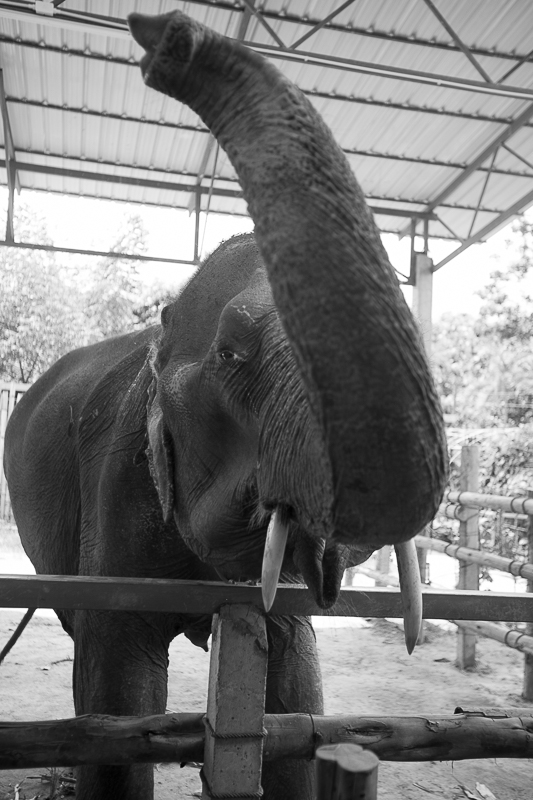 a photo of travel photography of of an elephant saying hello at an elephant sanctuary chaing mai thailand