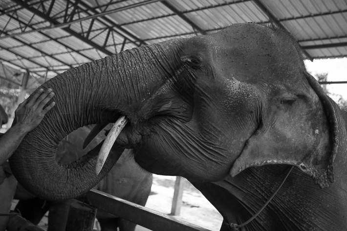 a photo of travel photography of an elephant showing his tusks at a sanctuary chaing mai thailand