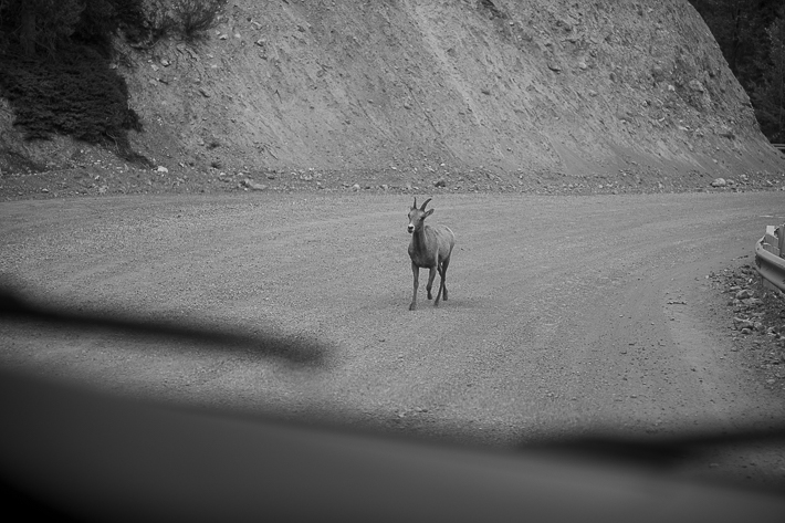 a summer wedding photo of a baby elk following my car at spray lakes with mountains and turquoise lake canmore alberta