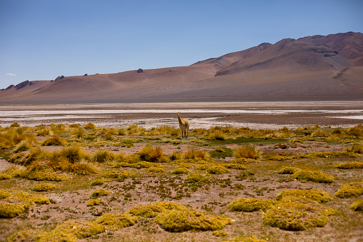 a travel photo of a llama in atacama desert with salt flats, chile south america