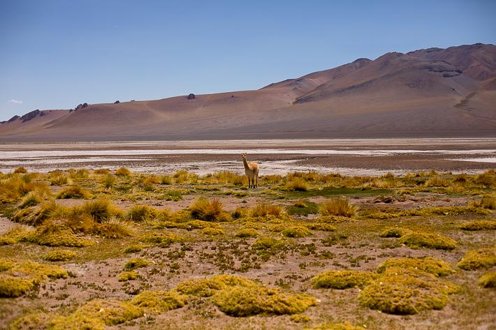 a travel photo of a llama in atacama desert with salt flats, chile south america