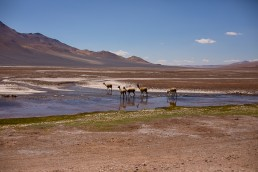 a travel photo of llamas walking away in atacama desert with salt flats, chile south america