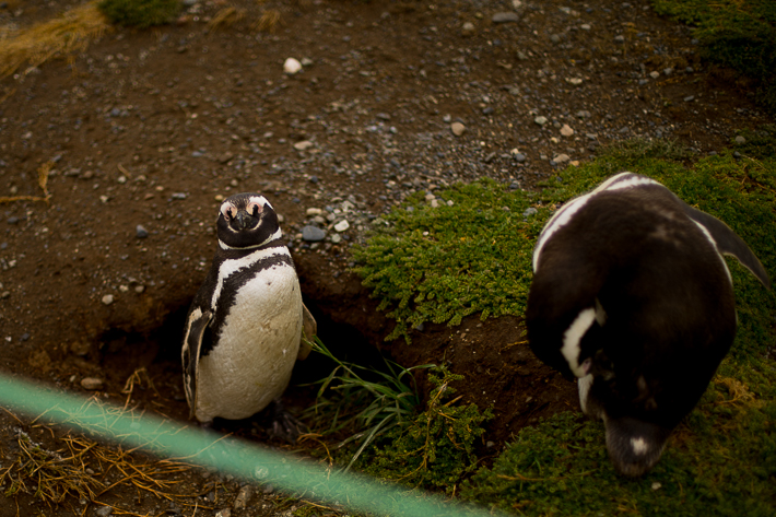 a travel photo of a penguin winking at magdalena island near punta arenas chile south america