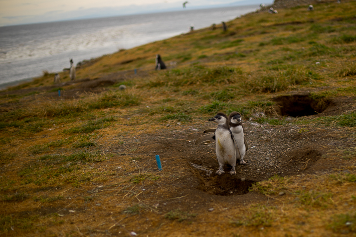 a travel photo of a baby penguins at magdalena island near punta arenas chile south america