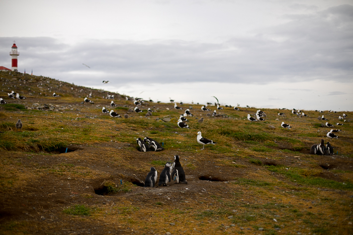 a travel photo of a penguin at magdalena island near punta arenas chile south america