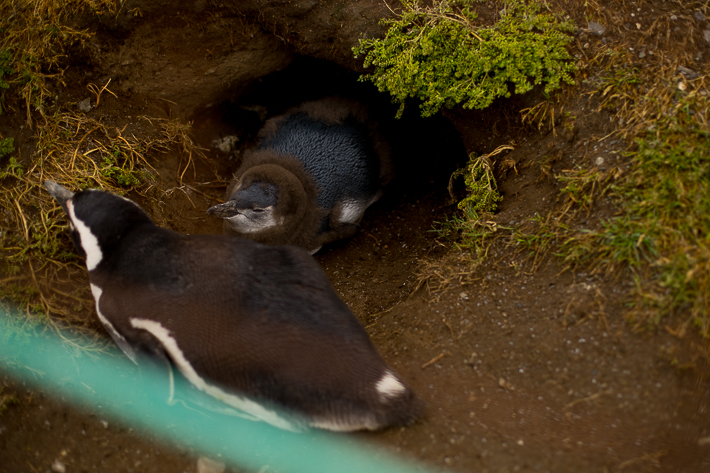 a travel photo of a baby penguins coat at magdalena island near punta arenas chile south america