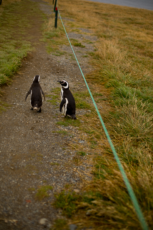 a travel photo of two penguins walking together at magdalena island near punta arenas chile south america